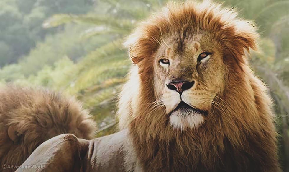 背景を削除する前のライオンの画像